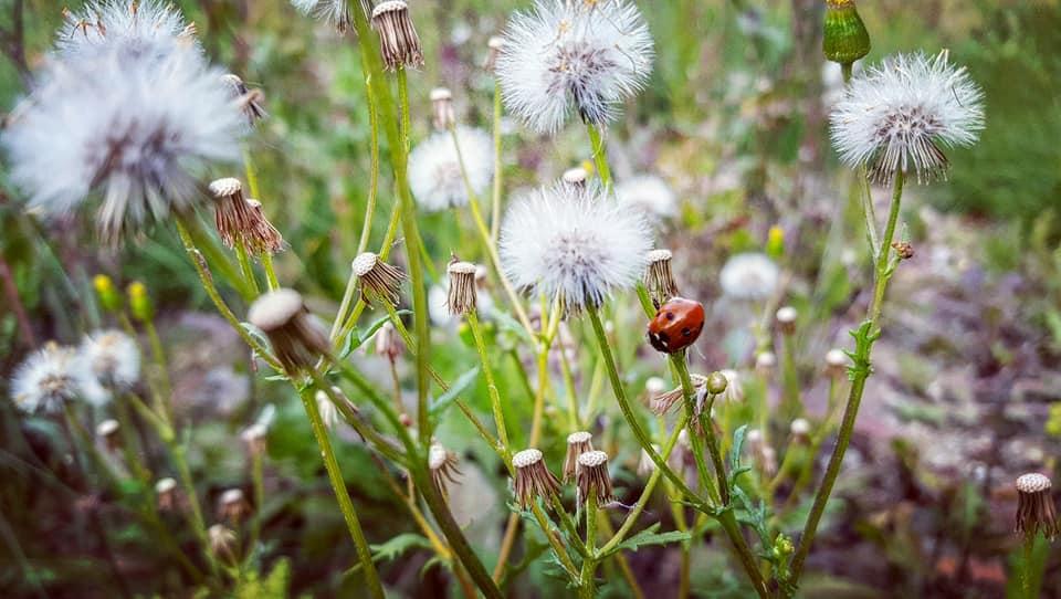 Amande - fleur sauvage