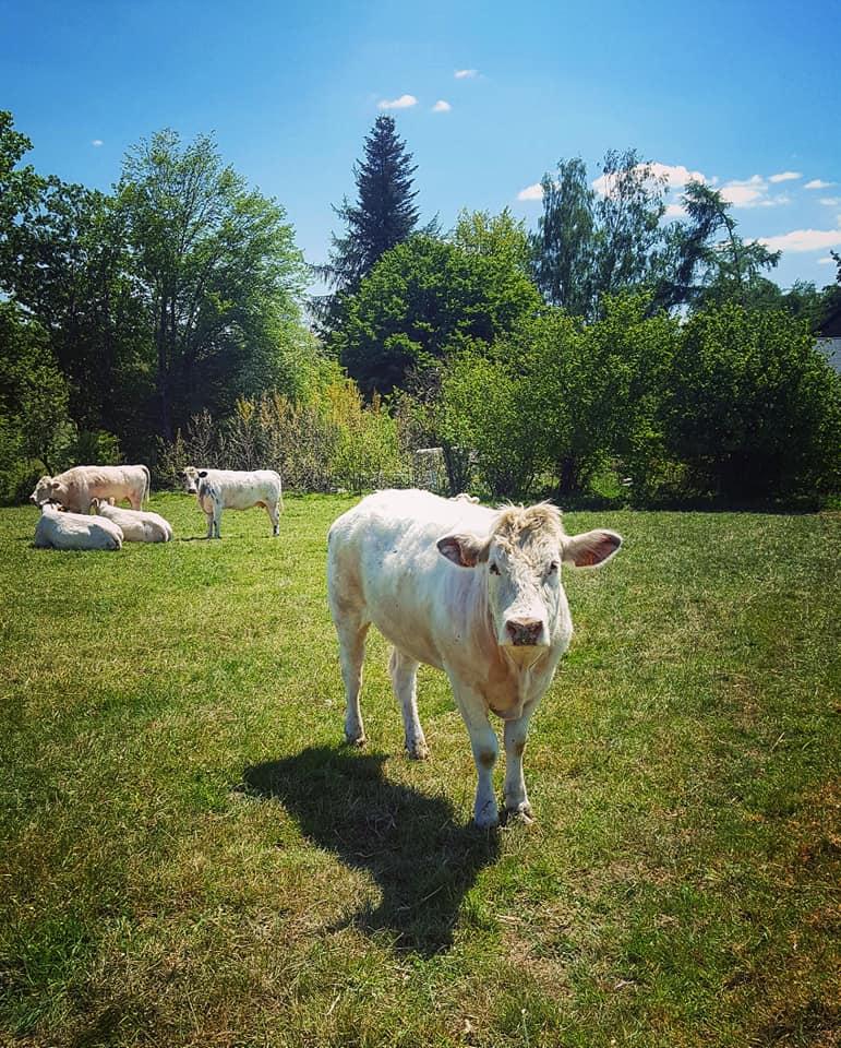 Amande - vue sur des vaches