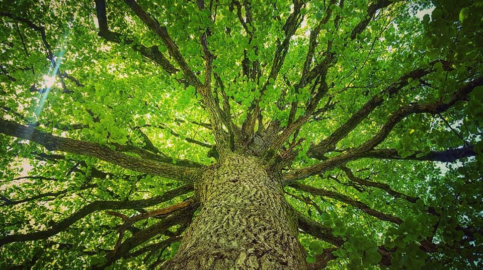 Amande - arbre en plongée