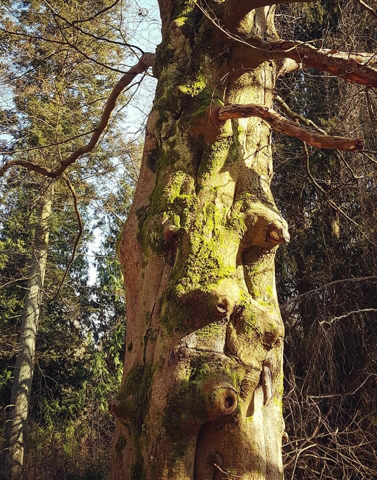 Amande - arbre