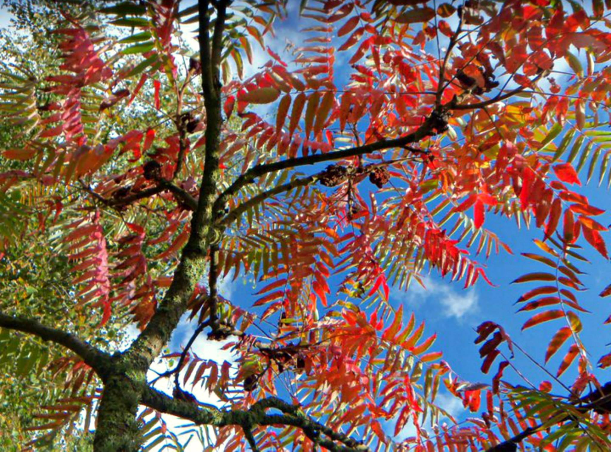 arbre aux feuilles rouge